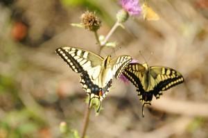 秋の花のアザミ等にはいろいろな種類のアゲハチョウが群れていました。