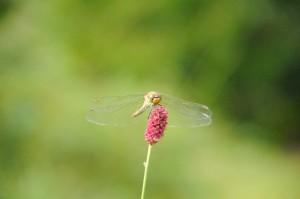 ワレモコウの花に羽を休めるアキアカネ