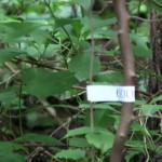 予備調査で付けられた小さな標高表示テープを探しながらの宝探し登山?