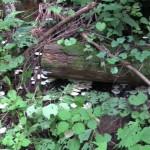 今年の夏は雨が多く、森の中はキノコの大豊作。これは杉林に多いスギヒラタケ