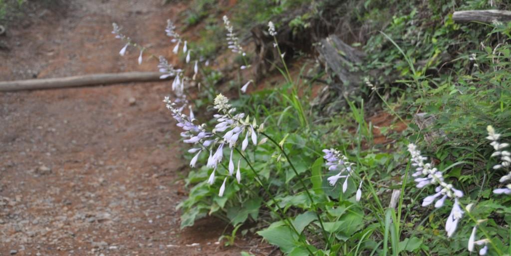 足元にはオオバノギボウシが咲き、夕やみが迫る山道を、明るくしてくれています。