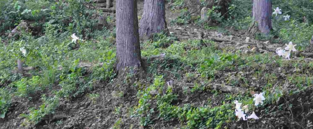 ヤマユリは藪の中で一輪咲いても所在が分かるほど、濃厚な香りを放ちます。クロモ岩近くの斜面には一斉に花開き妖艶な世界を醸しだしていました。