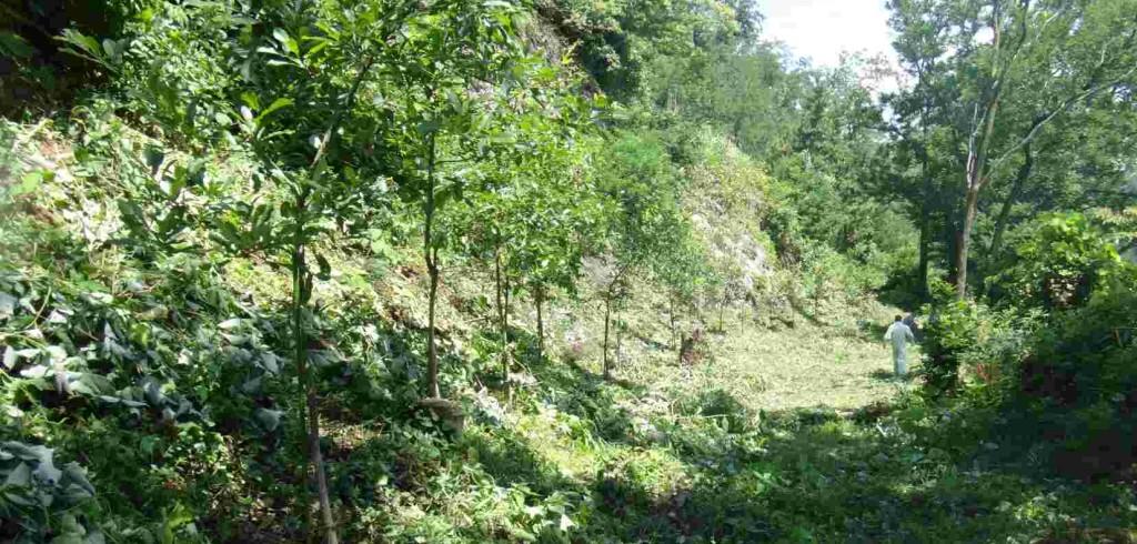 背丈ほどもあった雑草が刈り取られ、刈られた雑草が肥料となって、クヌギは夏の日差しを受けて成長します。