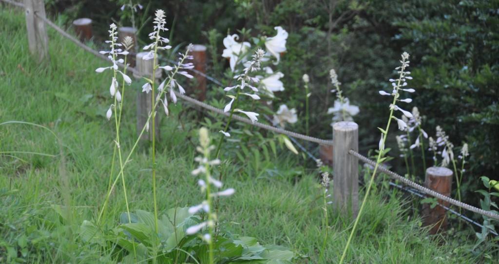 以前にも何度か花火撮影などで、この季節に登りましたが、これほどまで多く咲くヤマユリは初めてです。