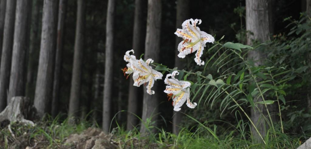 道の土手から延びる花茎は顔の高さに花をつけ、むせかえるような香りを放っていました。