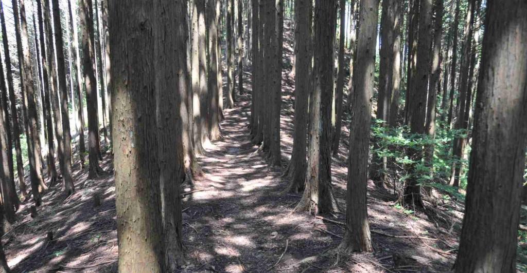 麻生山の山頂は細長い釣尾根状になっており、昔は麓の大久野中学校の学校林(実習林)であった。