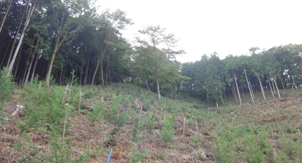 下山は数年前に皆伐した東斜面から麻生林道に出て、テル窪の沢沿いにタルクボ林道へと戻る。写真の右半分が皆伐され、左半分が枝打ちと間伐が行われる予定。