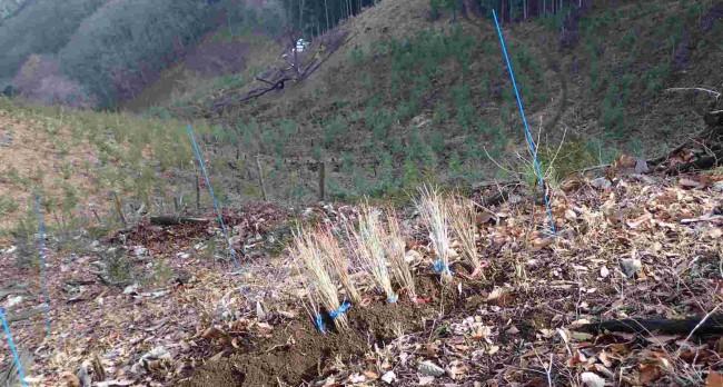 麻生平から山頂への斜面には、伐採後に植えられるカエデやミズナラの苗がデポされていた。