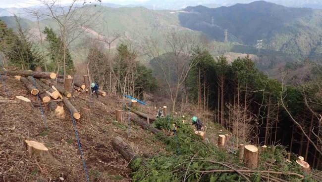 伐採後への植林作業。樹種はカエデやミズナラなどの昆虫が好む落葉樹。針葉樹以外の自然植生は残してある。