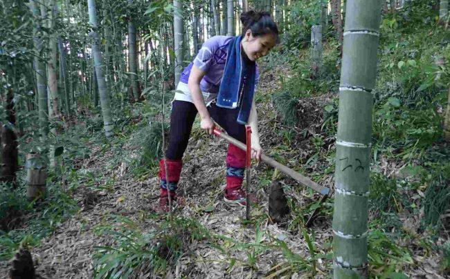 竹の子の曲がり具合で地下茎の一がわかるので、地下茎側に鍬を入れる。見分け方は入園時に詳しく教えてくれる。