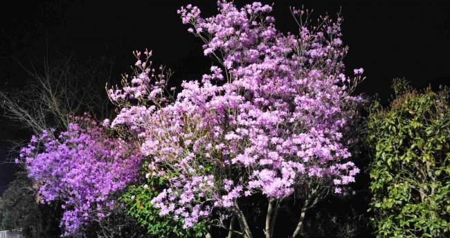 この季節はツツジや椿の花も咲き、寒さも和らぐので、夜道の散歩も華やいだ気分になります。