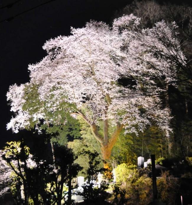 大櫻は天正寺の裏山の墓所に有り、高台のため都道から良く見え、道行く人の目を楽しませています。